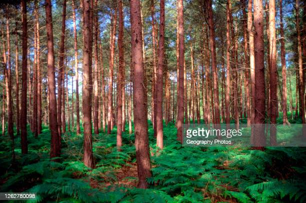 Bracken and coniferous trees in forestry plantation at Rendlesham Forest, Suffolk, England, UK.