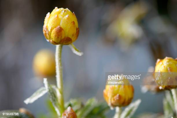 Bracted Strawflower frost-covered in winter