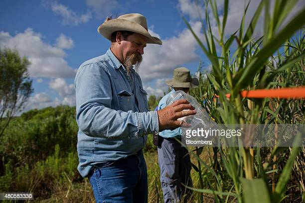 Brad Leavell, a brush control specialist, releases Arundo wasps into a stand of carrizo cane as he and members of the Texas State Soil and Water...
