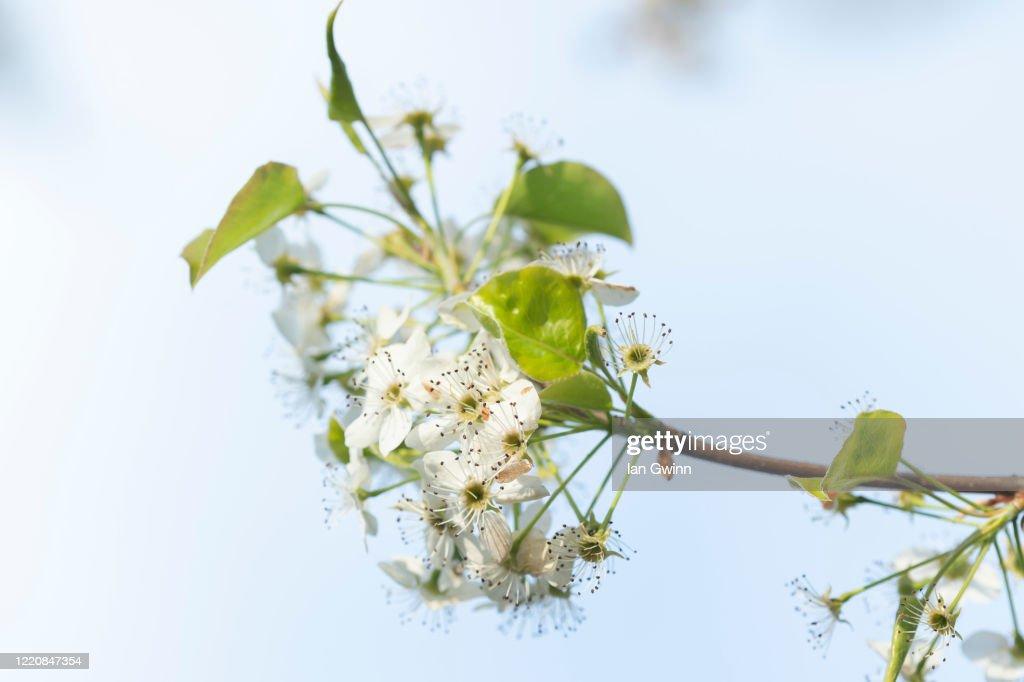 Bradford Pear Blossoms : Stock Photo