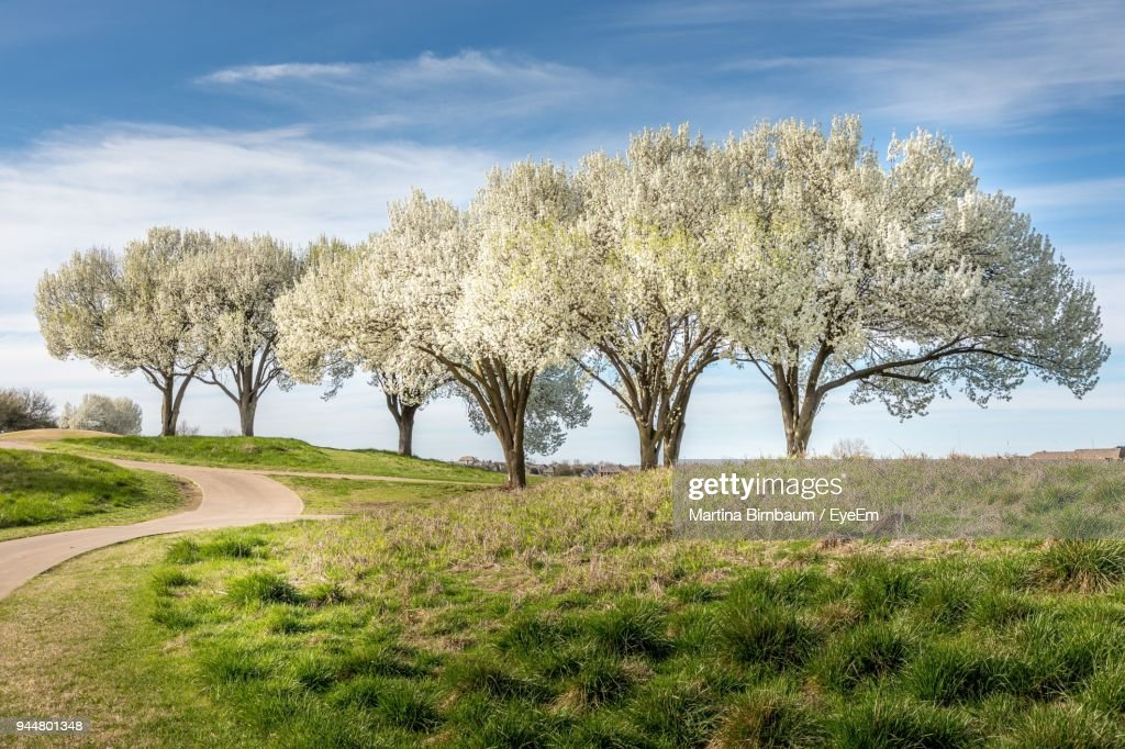 Bradford Pear Trees On Grass Landscape : Stock Photo