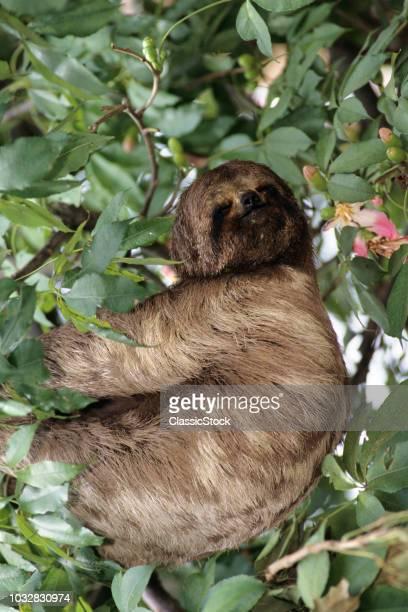 SLOTH Bradypodidae IN TREE...