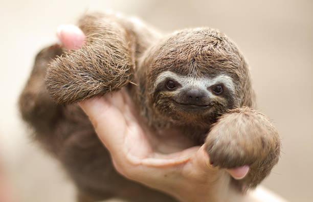 bradypus tridactylus - sloth animal stock pictures, royalty-free photos & images