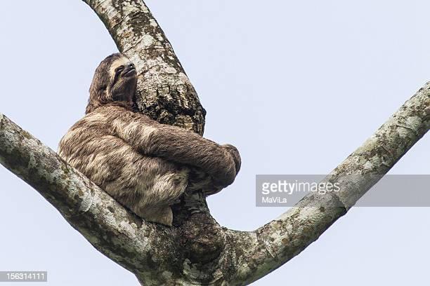 Bradypus variegatus Preguiça