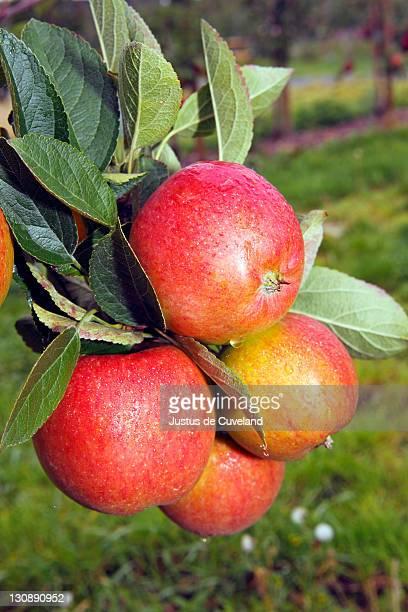 Braeburn Apples (Malus domestica) growing on an apple tree, fruit-growing region Altes Land, Lower Saxony, Hamburg, Germany, Europe