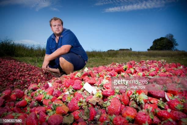 Braetop Berries strawberry farmer Aidan Young poses amid strawberries he will destroy following the nationwide needle scare on his farm in the Glass...