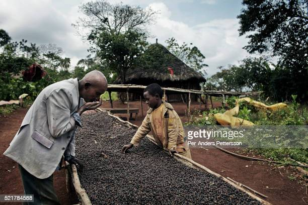 Brahanu Gibo a coffee farmer smells his wild coffee with his son as the coffee is being dried on their farm on December 4 2012 outside Bonga Ethiopia...