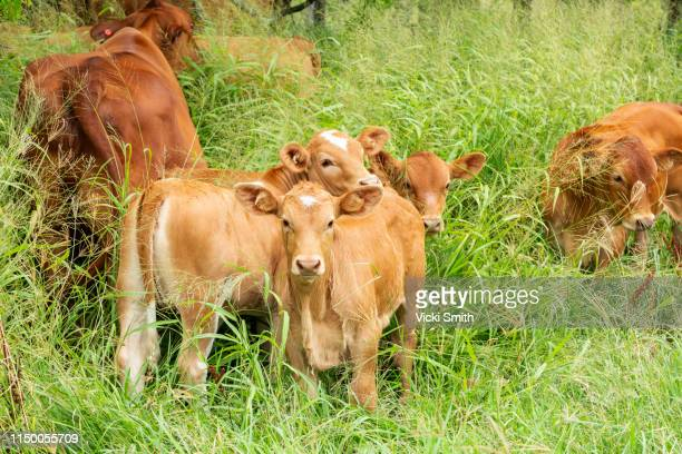 brahman beef cattle - ranch stock pictures, royalty-free photos & images