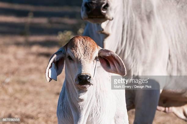 Brahman calf with cow