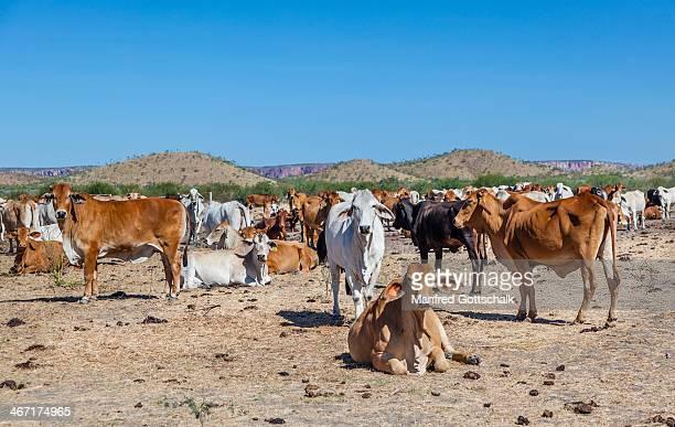 Brahman cattle Bowthorn Station