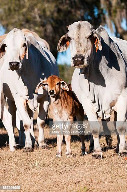 Brahman cows with calf