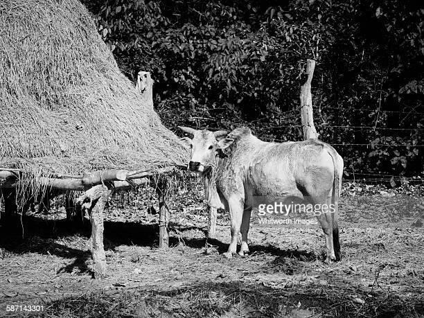 Brahmin ox and haystack in rural Nepal