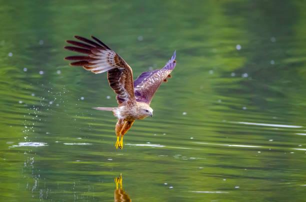 Brahminy Kite,Red-backed Sea-eagle