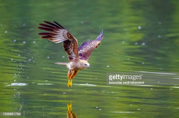 brahminy kite,red-backed sea-eagle - diving to the ground stock pictures, royalty-free photos & images