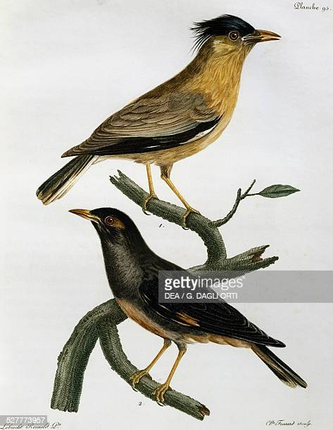 Brahminy Starling and below Bank Myna engraving from the Histoire Naturelle des Oiseaux d'Afrique 17991802 by Francois Le Vaillant after drawing by...