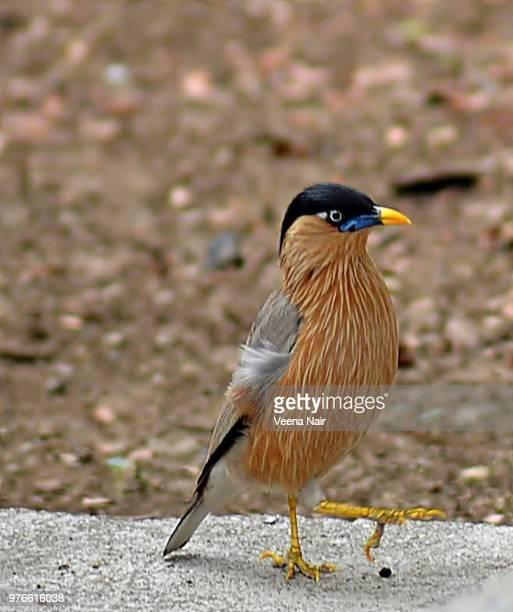 Brahminy starling/Myna
