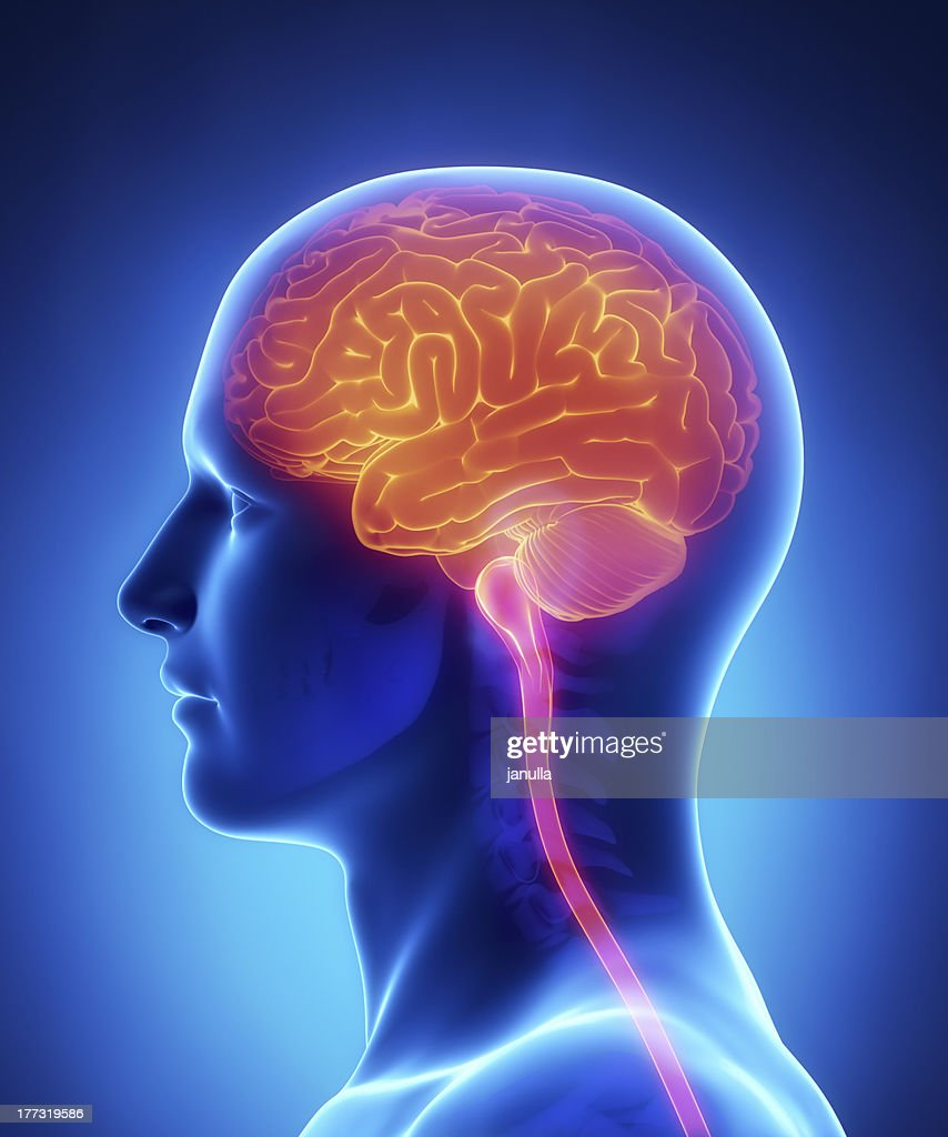 Brain And Spinal Cord Anatomy Cross Section Stock Photo | Getty Images