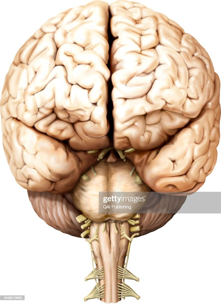 Brain Anterior View Part Of The Central Nervous System Enclosed In