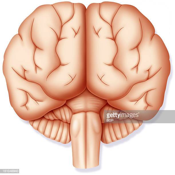 Brain Anterior View With The Two Cerebral Hemispheres Left And Right The Cerebellum And The Brain Stem