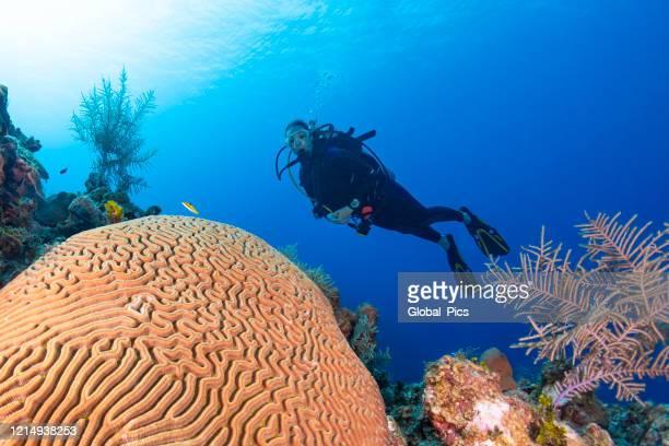 brain coral (diploria labyrinthiformis) and diver - brain coral foto e immagini stock