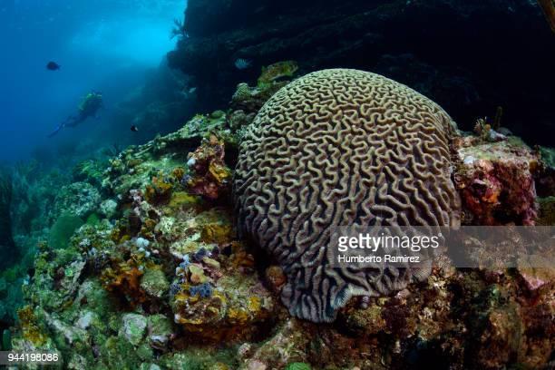 brain coral and diver. - brain coral foto e immagini stock