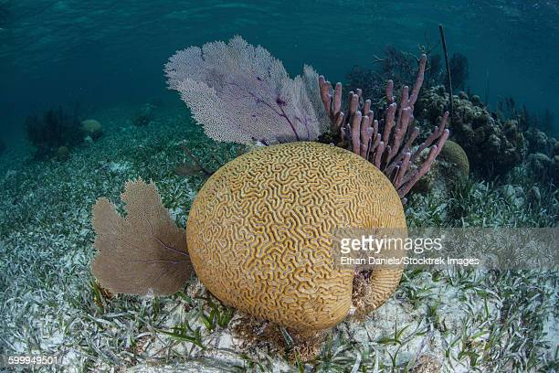 Brain coral and gorgonians grow off Turneffe Atoll in Belize.