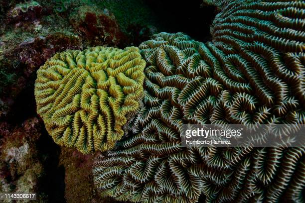Brain Coral competition.