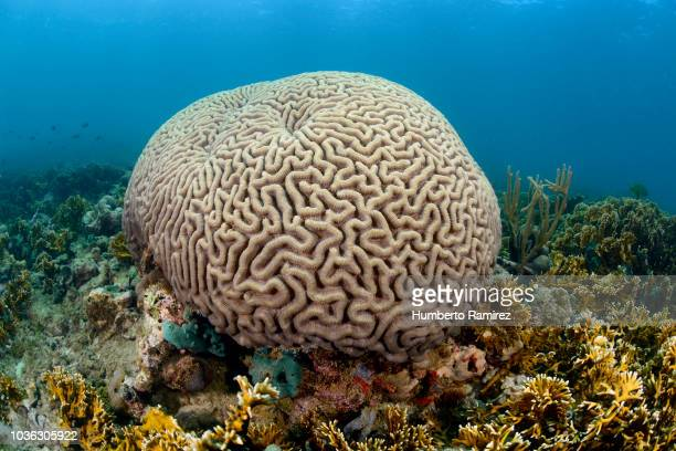 brain coral. - cnidarian stock pictures, royalty-free photos & images