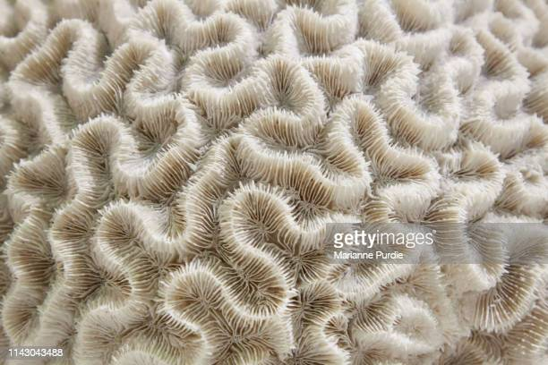 brain coral - brain coral foto e immagini stock