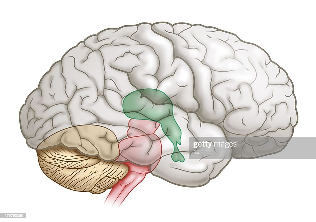 Medulla Oblongata Stock Photos And Pictures Getty Images
