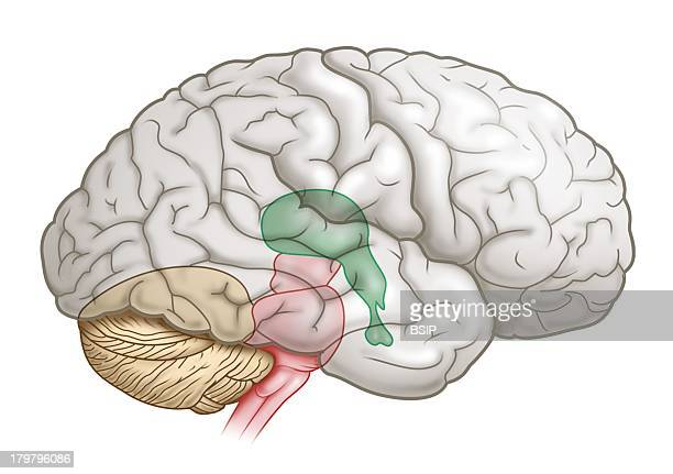 Brain Drawing Brain Stem Pink Is Located Between The Brain And The Spinal Cord It Includes The Mesencephalus The Pons And The Medulla Oblongata