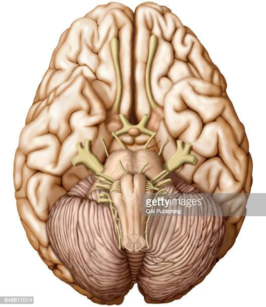 Brain inferior view Part of the central nervous system enclosed in the skull consisting of the cerebrum cerebellum and brain stem it is responsible...