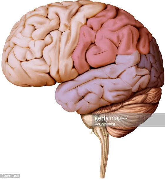 Brain lateral view, Part of the central nervous system enclosed in the skull, consisting of the cerebrum, cerebellum and brain stem; it is...