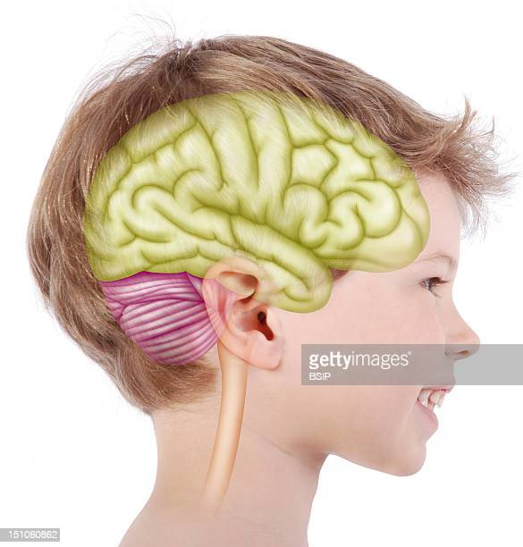 Brain Of A 6 Year Old Child Representation Of The Brain On The Face Of A 6 Year Old Child From A Profile View Right Hemisphere In Green The...