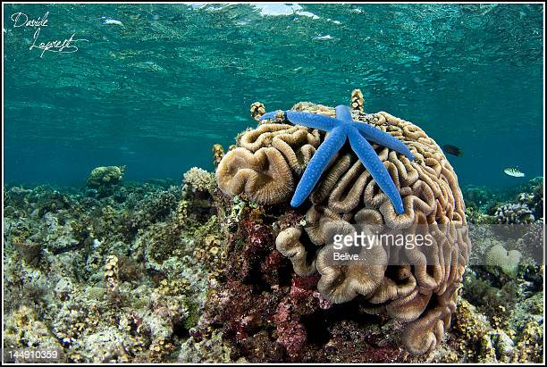 Brain star fish