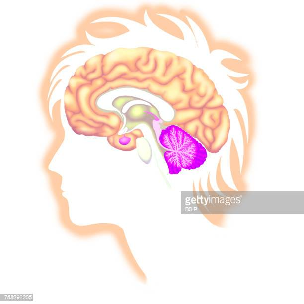 brain,drawing - fornix stock photos and pictures