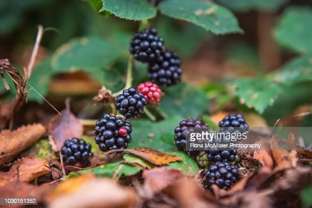 bramble blackberry fruits ripening in late summer / early autumn - foerageren stockfoto's en -beelden