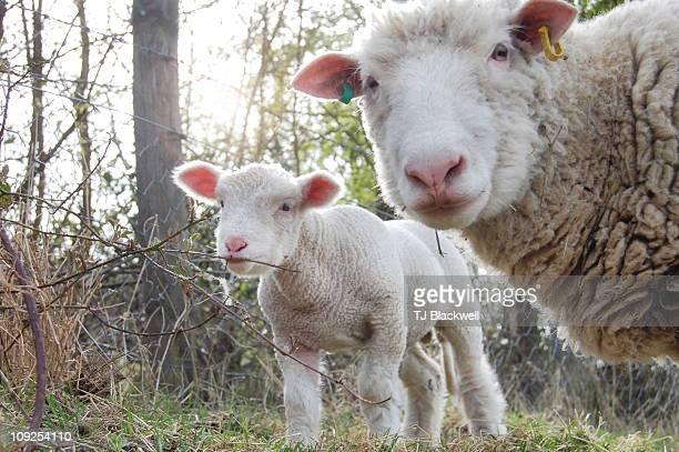 bramble-eating lamb - オトレイ ストックフォトと画像
