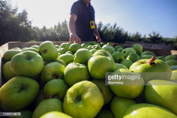 Bramley apples in a crate during a harvest at a farm in Coxheath, U.K., on Thursday, Sept. 16, 2021. The head of the U.K.'s biggest business lobby...