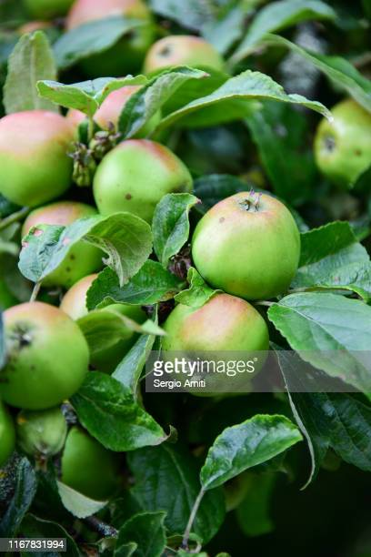 bramley apples - sergio amiti stock pictures, royalty-free photos & images