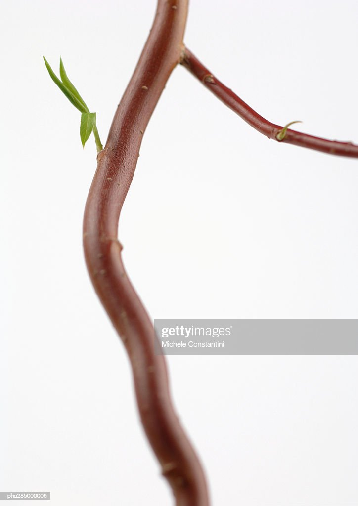Branch, close-up : Stock Photo