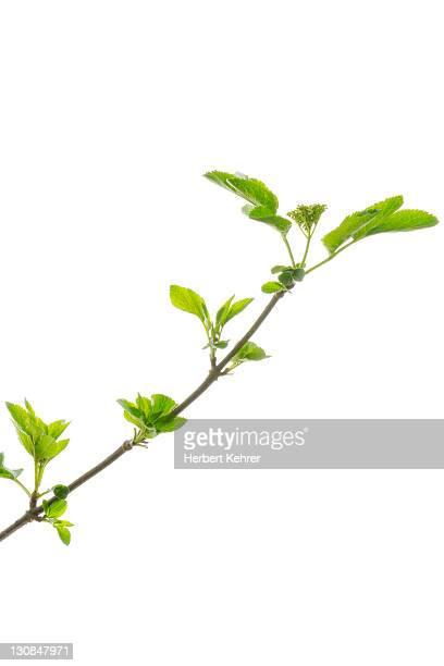 Branch, Elder, Elderberry, Black Elder (Sambucus nigra)