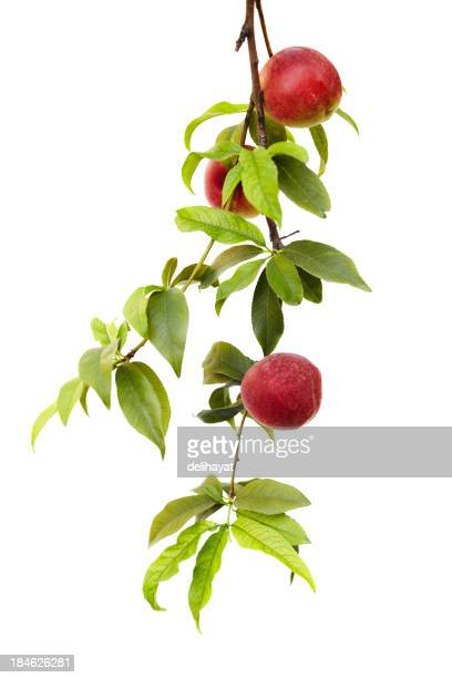 Branch from a peach tree with ripe fruit isolated on white