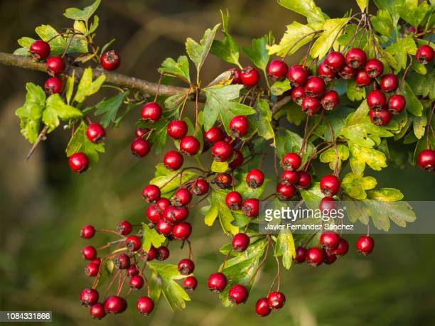 a branch full of red hawthorn berries in early autumn. hawthorn berries. crataegus monogyna - hawthorn,_victoria stock pictures, royalty-free photos & images