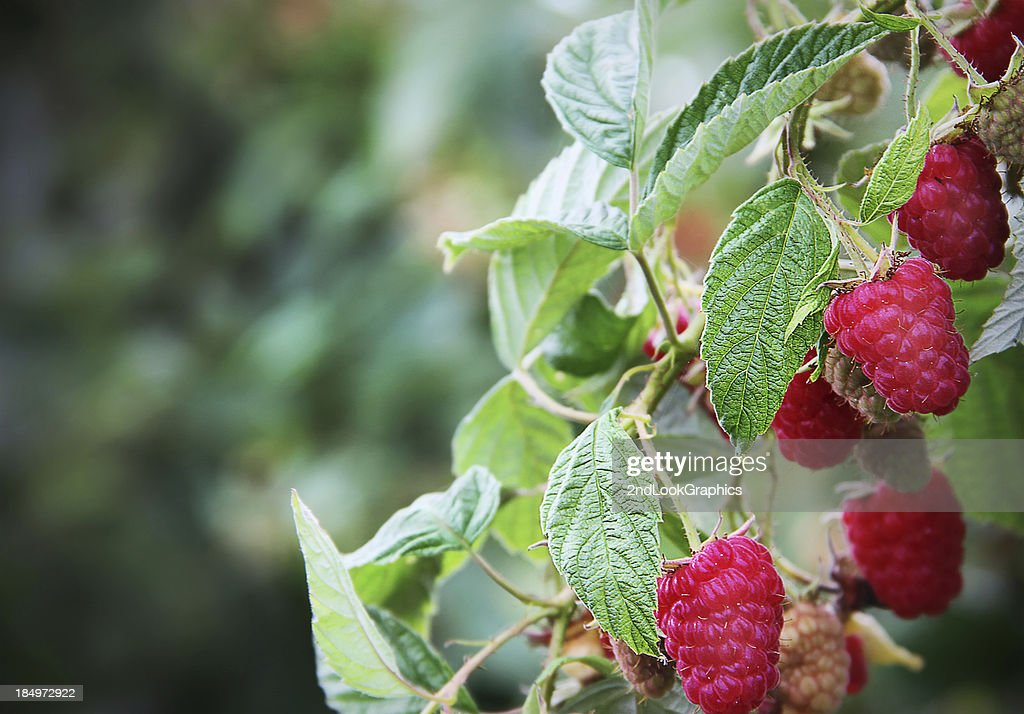 Branch loaded with Ripe Red Raspberries : Stock Photo