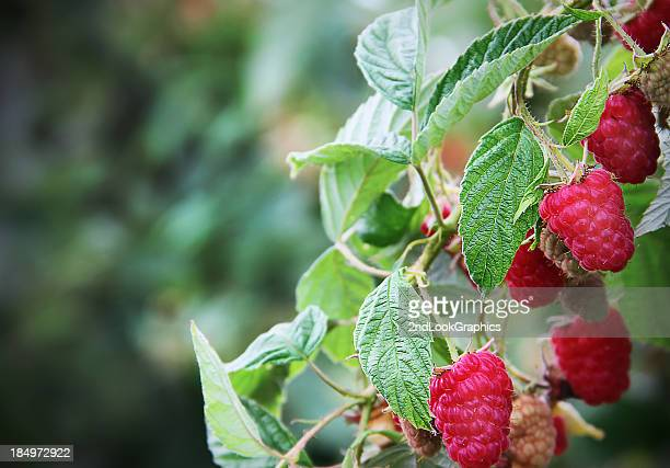 Branch loaded with Ripe Red Raspberries