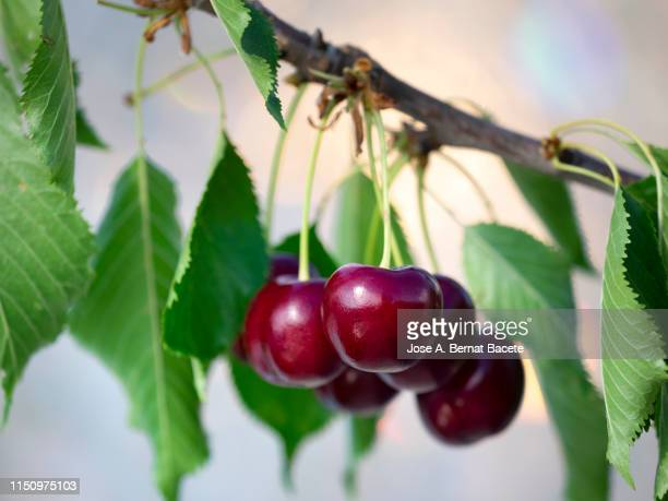 branch of a cherry-tree with a group of mature cherries hanging illuminated by the light of the sun. valencian community, spain. - obstbaum stock-fotos und bilder