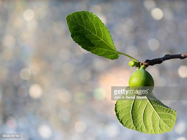 Branch of a fig tree with a green fig
