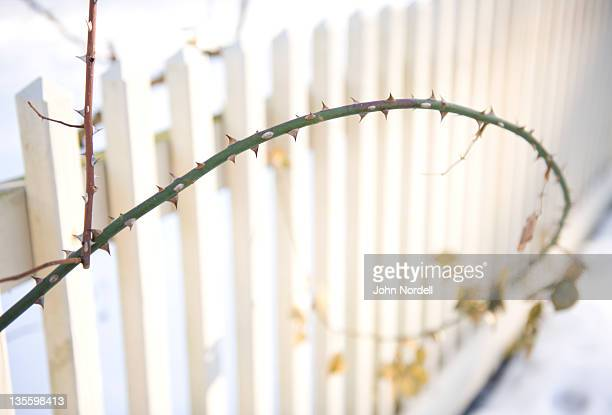 Branch of a rose bush in front of white picket fence awaits spring on a winter's day