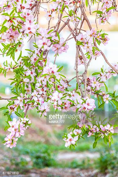 Branch of almond blossoms (Prunus Dulcis) in shades of pink, with defocused background, Castellón, Spain, Europe.